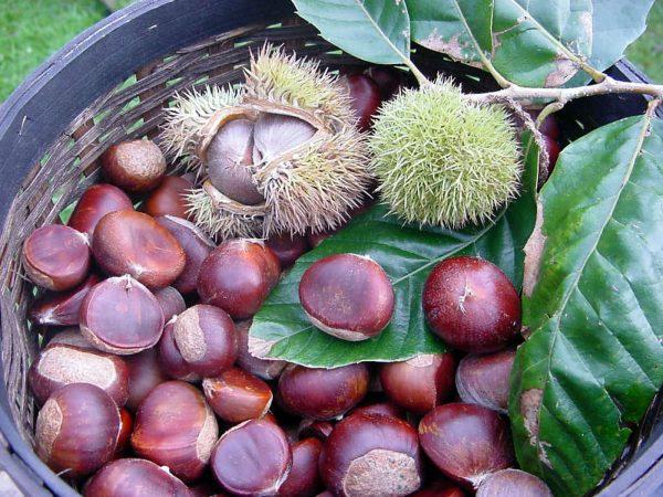 Chestnut00